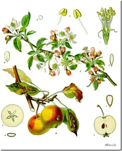 Color drawing of Wild Apple tree branches, leaves, fruit, and cross section (notice star-shape inside fruit)
