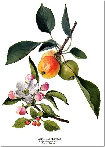 Color drawing of Wild Apple tree leaves, fruit, and flowers