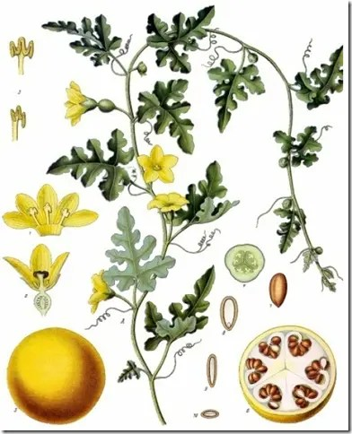Color drawing of the Wild Desert Gourd plant illustrating the leaves, flowers, fruit, and cross section of seeds and fruit