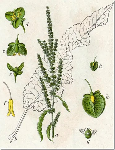 Color drawing of Wild Dock illustrating the plant, seeds, and flowers