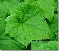 Wild Gourd leaves are palmately lobed typically with 3-7 lobes