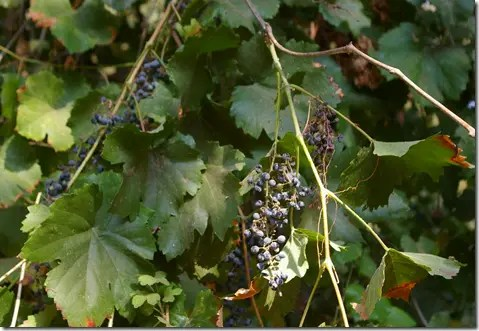 Bunches of grapes hanging from a grapevine