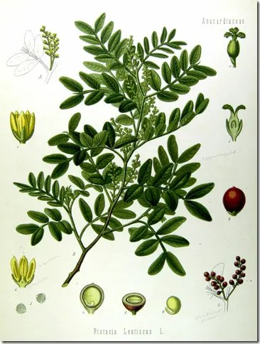 Color drawing of Wild Pistachio tree illustrating flowers, leaves, fruit, and cross sections of fruit/nut