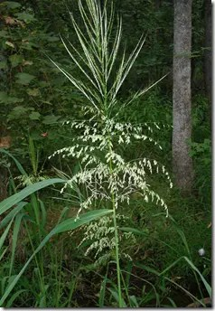 Wild Rice grain and flower heads