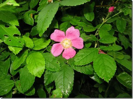 Wild Rose plant with spear-shaped leaves
