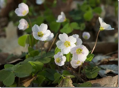 Wood Sorrel flowers may have colored streaks