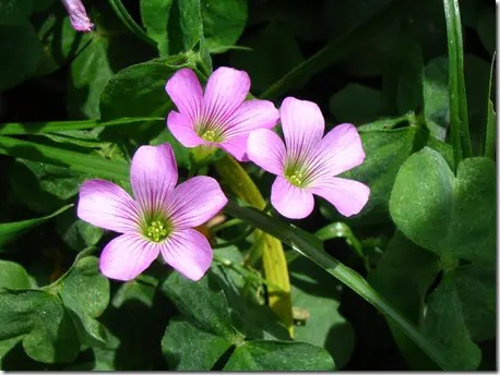 Pink Wood Sorrel flowers wiht white streaks