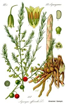 Color Asparagus drawing showing plant components