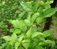 Bael Fruit leaves