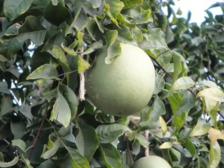 Large, mature Bael Fruit