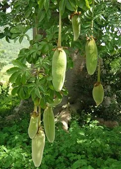 Baobab tree fruit hanging from tree