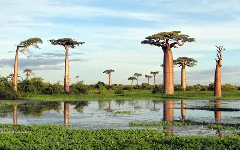 A grove of Baobab trees