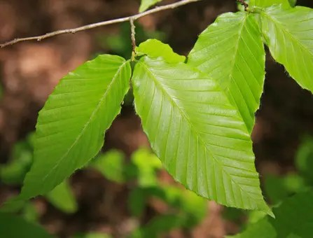 Close-up of Beech tree leaves
