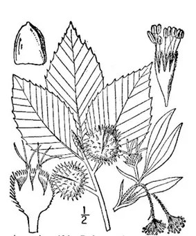 Beech tree drawing showing plant components