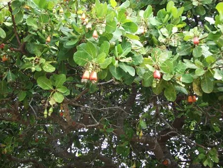 Cashew Tree branches with hanging fruit