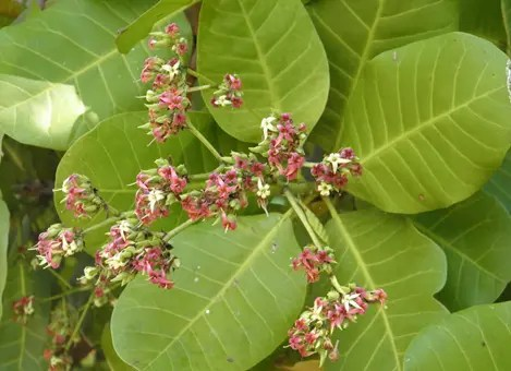 Cashew Tree flowers and leaf structure