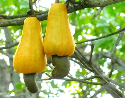 Close up view of Cashew Tree nuts