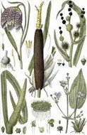 Drawing of Cattail plant