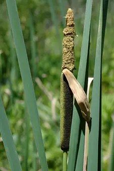 Cattail plant fruit