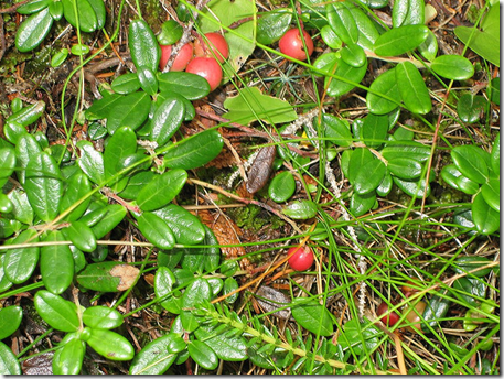 Cranberry groundcover