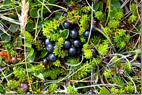 Crowberry berries in ground cluster
