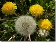 Yellow and white Dandelion flowers