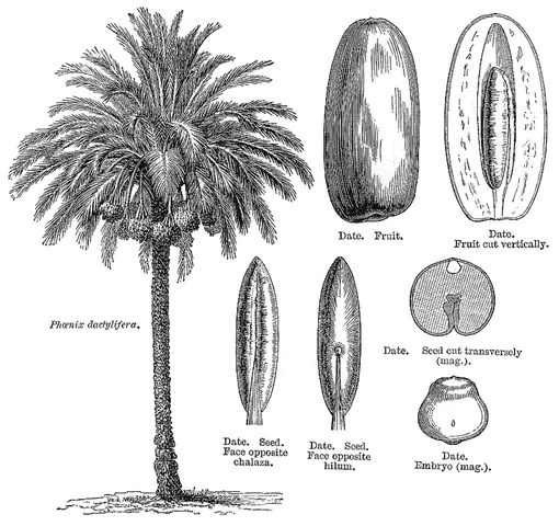 Drawing of Date Palm with its components illustrated