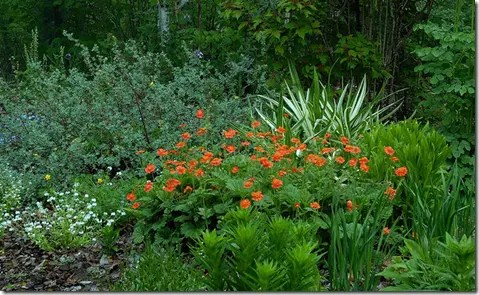 Grouping of Daylily flowers