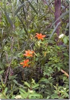 Daylily in the wild