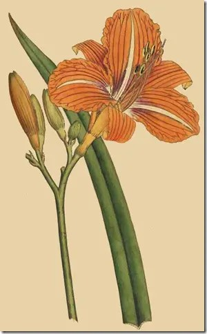 Drawing of Daylily and its components