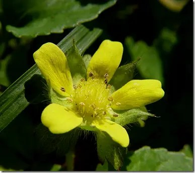 Indian strawberry yellow flower