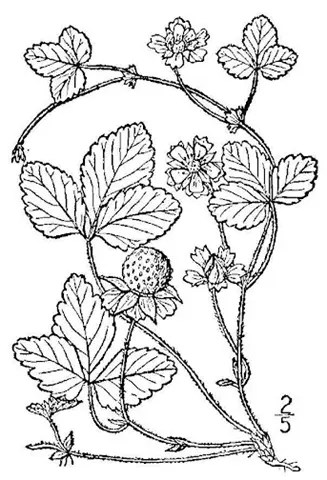 Line drawing of Indian strawberry
