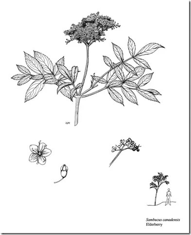 Drawing of Elderberry plant illustrating its components