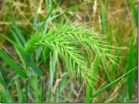Drooping Foxtail grass