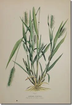Color drawing of Foxtail grass