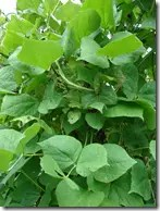 Winged Bean plant showing leaf structure