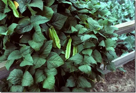 Goa Bean plant with bean pods clearly visible