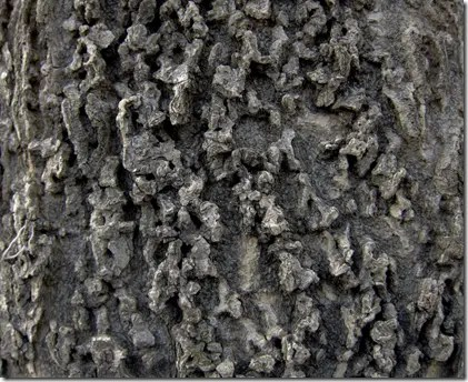 Hackberry bark is unique