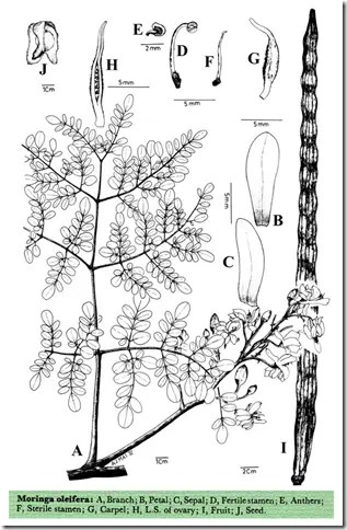 Drawing of Horseradish/Drumstick tree showing its various components