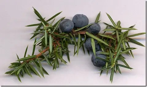 Juniper berries and needle-like leaf branch