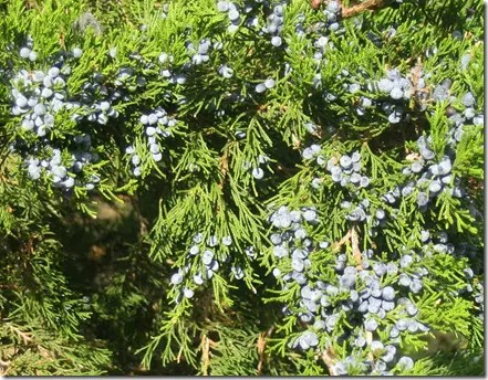 Clusters of Juniper berries