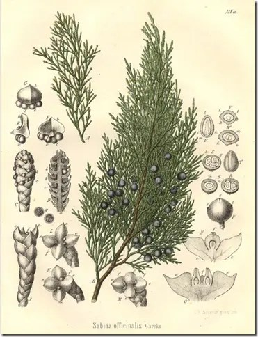 Drawing of Juniper tree and its components