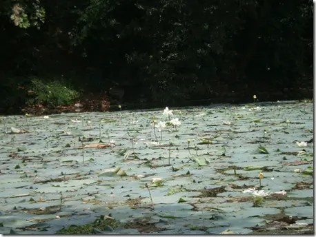 Hundreds of Lotus leaves covering the surface of a pond