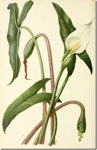 Color drawing of Xanthosoma plant