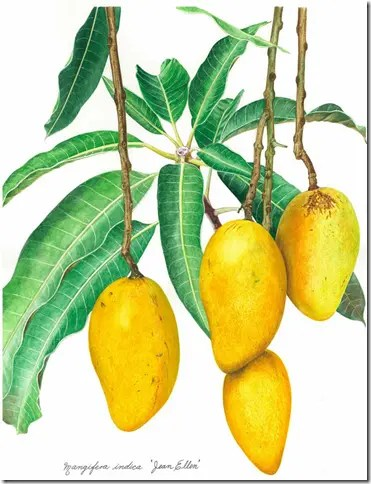 Color drawing of Mango leaves and hanging fruit