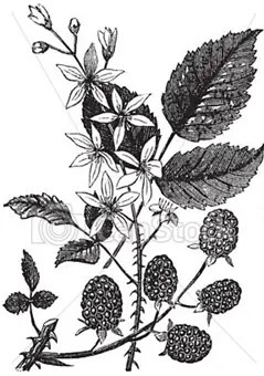 Drawing of blackberry leaves, flowers, and vine