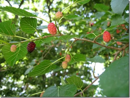 Lots of Mulberry fruit on the tree