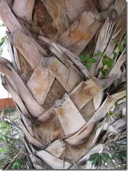 Close up view of the Sabal Palmetto palm tree trunk