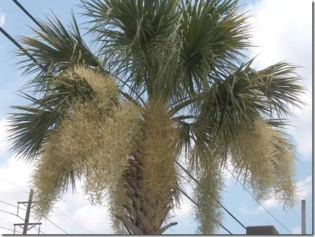 Catkin like flowers hanging from a Sabal Palmetto palm tree
