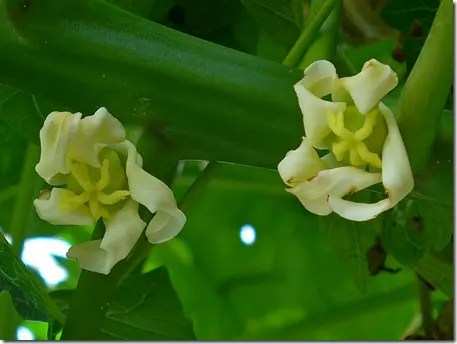 Female Papaya flowers are yellowish and curled